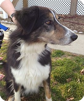 Australian Shepherd/Collie Mix Dog for adption in Richmond, Virginia - Lady