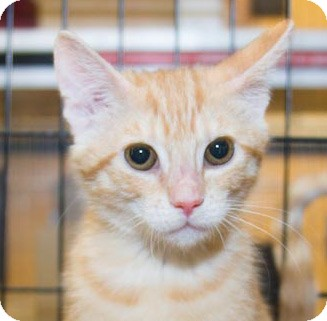 Domestic Shorthair Kitten for Sale in Irvine, California - Sadie