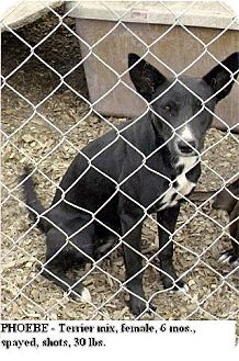 Terrier (Unknown Type, Medium) Mix Puppy for adption in Moulton, Alabama - Phoebe