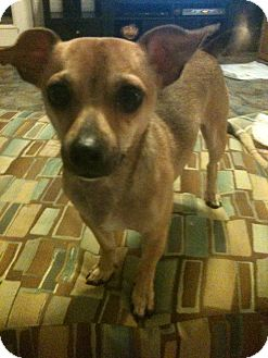 Chihuahua Mix Dog for Sale in Lexington, KY, Kentucky - Dezi
