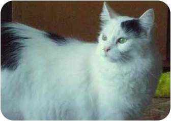 Domestic Longhair Cat for adoption in Danville, Kentucky - Exquisite Eskimo
