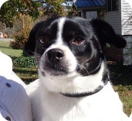 Boston Terrier Mix Dog for Sale in Windham, New Hampshire - Digby ($150 off)