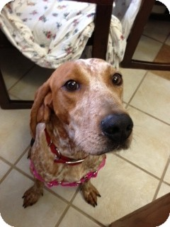 English (Redtick) Coonhound Mix Dog for Sale in Chippewa Falls, Wisconsin - Saidy