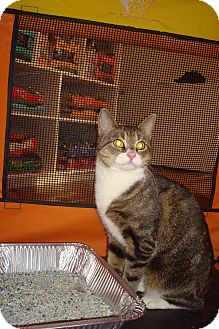 American Shorthair Kitten for Sale in Brooklyn, New York - Naomi