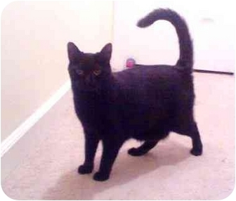 Bombay Cat for Sale in Greenville, South Carolina - Licorish