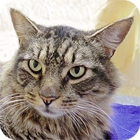 Maine Coon Cat for adoption in Alameda, California - SAMPSON