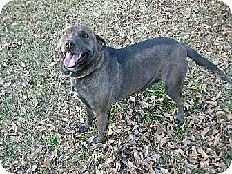 Australian Cattle Dog/Australian Cattle Dog Mix Dog for adption in Rayville, Louisiana - Brownie
