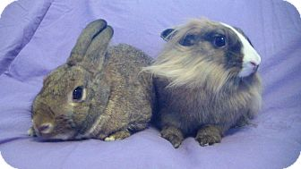 Lionhead Mix for adoption in Garland, Texas - Hansel and Gretel