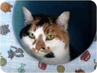 Calico Cat for adoption in Pittsboro, North Carolina - Patches