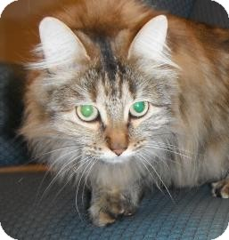 Domestic Longhair Cat for Sale in Jackson, Michigan - Abbey