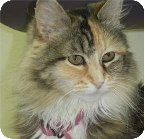Calico Cat for adoption in Brush Prairie, Washington - Teeny