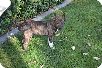 Dutch Shepherd/Corgi Mix Puppy for Sale in Torrance, California - Chance
