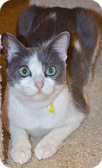 Domestic Shorthair Cat for adoption in Peoria, Arizona - Sophia