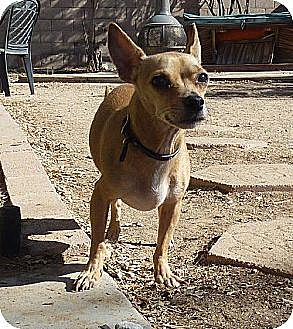 Chihuahua Mix Dog for adption in Phoenix, Arizona - Thor