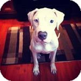 American Pit Bull Terrier/Dalmatian Mix Dog for adption in Orlando, Florida - Sugar