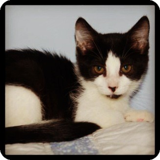 Domestic Shorthair Cat for adoption in Great Mills, Maryland - Fiona