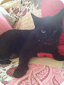 Bombay Cat for adoption in Greenville, North Carolina - Daffy Duck