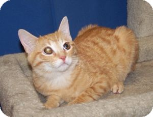 Domestic Shorthair Kitten for Sale in Colorado Springs, Colorado - Hamish