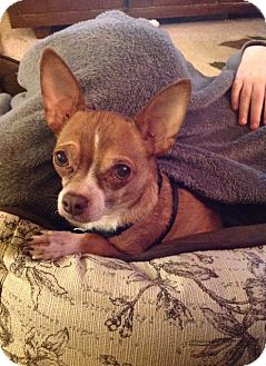 Chihuahua Mix Dog for adption in Clear Lake, Washington - Brandon