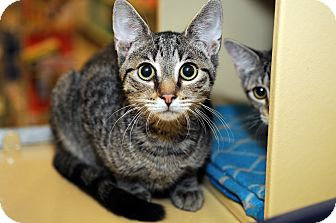 Domestic Shorthair Cat for adoption in Farmingdale, New York - Alvin