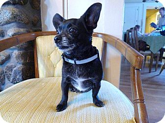 Chihuahua Dog for adption in Temecula, California - Stitches