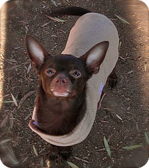 Chihuahua Dog for Sale in El Cajon, California - Hershey