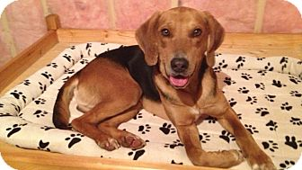 Hound (Unknown Type) Mix Dog for Sale in Douglas, Ontario - Zeppelin