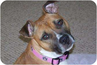 American Pit Bull Terrier/Boxer Mix Dog for adption in Newark, Delaware - Gracie