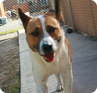 Akita Mix Dog for adption in san antonio, Texas - Kira