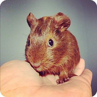 Guinea Pig for Sale in Pittsburgh, Pennsylvania - Frostina