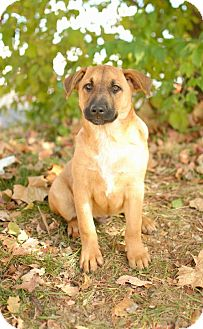 Shepherd (Unknown Type) Mix Puppy for adption in Nashville, Tennessee - Brodie