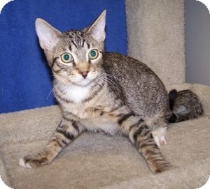 Domestic Shorthair Cat for Sale in Colorado Springs, Colorado - K-Lori2-Yang