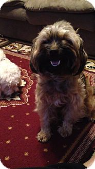 Yorkie, Yorkshire Terrier/Poodle (Miniature) Mix Dog for Sale in Hazard, Kentucky - Crissy