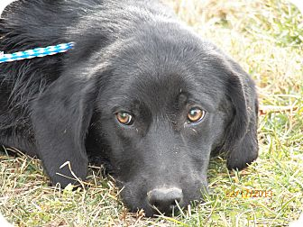 Flat-Coated Retriever/Golden Retriever Mix Dog for Sale in Sussex, New Jersey - Shirley