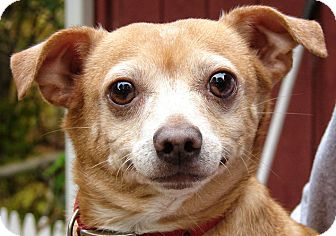 Chihuahua Dog for adption in Howell, Michigan - Rainey