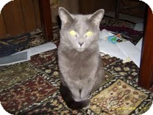 Russian Blue Cat for Sale in Sherman, Connecticut - Platinum