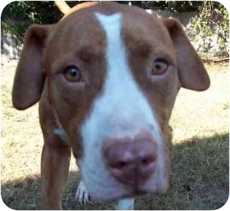 American Pit Bull Terrier/Hound (Unknown Type) Mix Dog for adption in Orlando, Florida - George