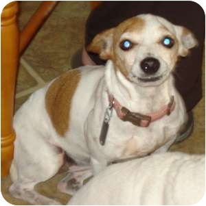 Jack Russell Terrier/Rat Terrier Mix Dog for Sale in Thomasville, North Carolina - Liza Jane