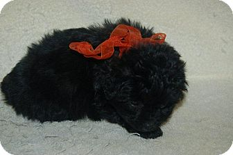 Poodle (Toy or Tea Cup)/Dachshund Mix Puppy for Sale in Hazard, Kentucky - Cooper