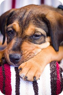 Hound (Unknown Type) Mix Puppy for Sale in Columbus, Georgia - Rupert