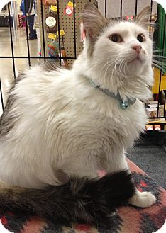 Domestic Mediumhair Cat for adoption in Kansas City, Missouri - Maureen