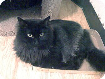 Domestic Longhair Cat for adoption in Chicago, Illinois - Lady Gaga