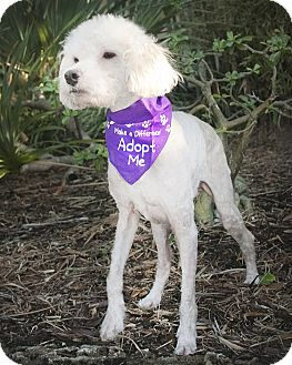Poodle (Miniature) Dog for Sale in North Palm Beach, Florida - Duffy