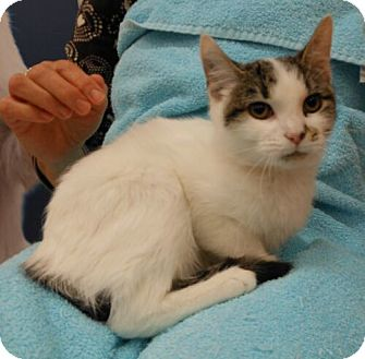 Turkish Van Kitten for adoption in Sterling, Virginia - Amanda