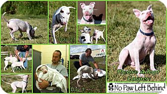 American Staffordshire Terrier Mix Dog for Sale in Lighthouse Point, Florida - Casper
