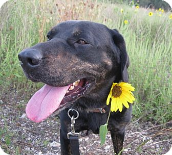 Labrador Retriever/Rottweiler Mix Dog for adption in Geneseo, Illinois - Rudy