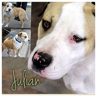 English Bulldog/Collie Mix Puppy for Sale in Westland, Michigan - Julian