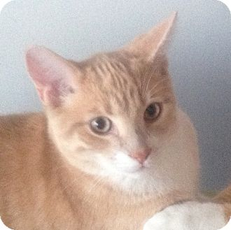 Domestic Shorthair Kitten for adoption in Mississauga, Ontario, Ontario - Bowyn