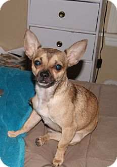 Chihuahua/Pug Mix Dog for adption in Chicago, Illinois - Bo