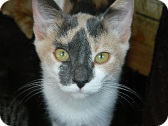 Calico Kitten for adoption in Elizabeth City, North Carolina - Marina